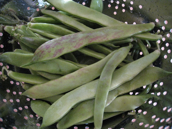 beans harvest
