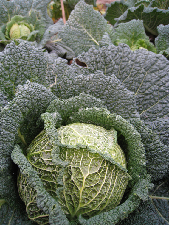 Savoy cabbages Dec