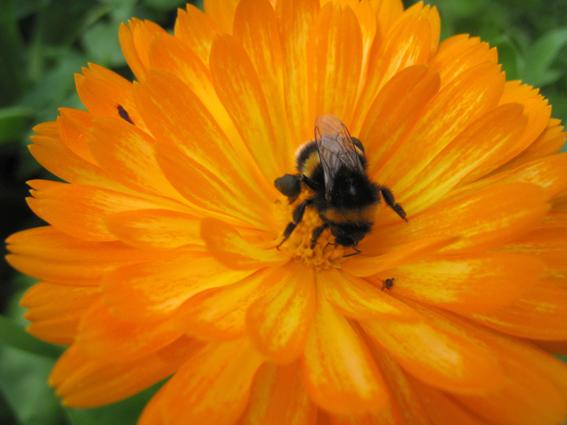 Calendula+bee