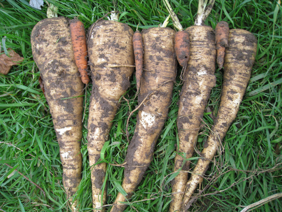 Carrots v parsnips