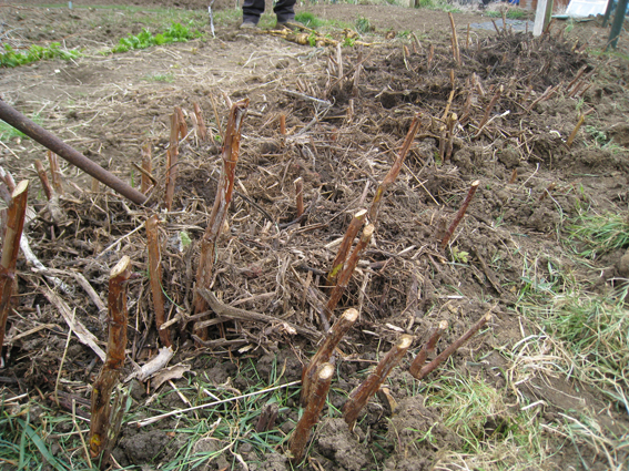 raspberries mulched