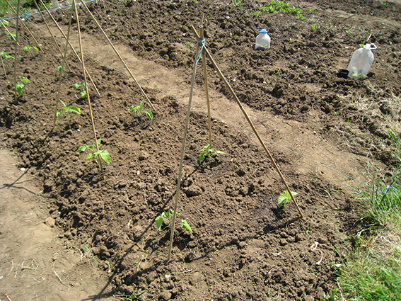toms planted