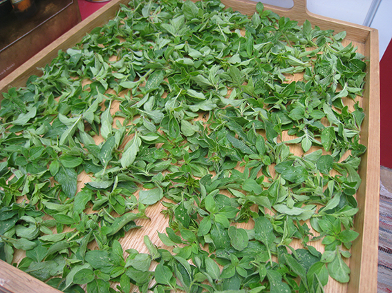 oregano drying on tray