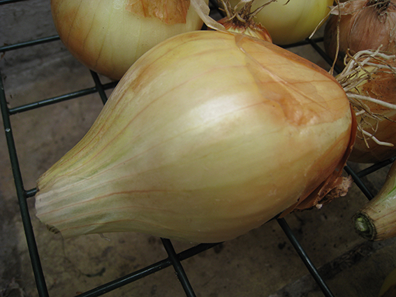 elongated onion