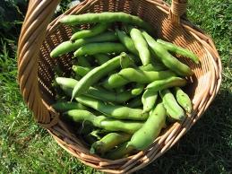 broad bean harvest