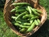 broad bean harvest