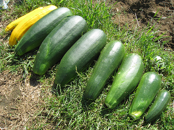 courgette glut