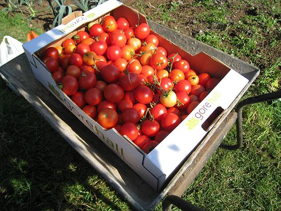 tomato havest
