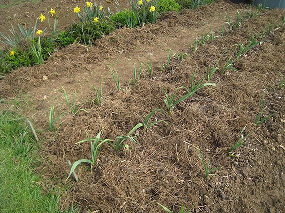 garlic bed mulch