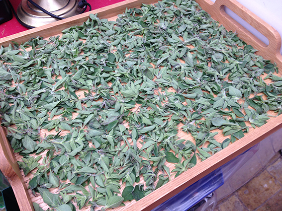 oregano for drying2