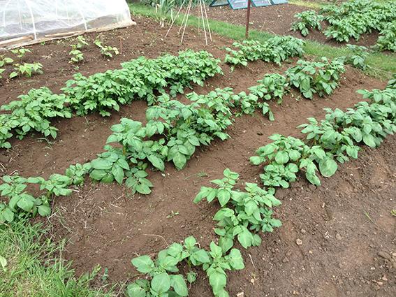 potatoes - May