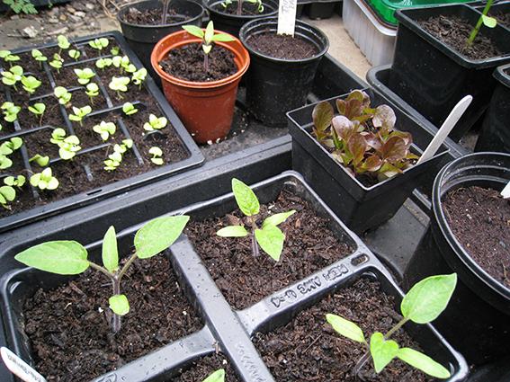 seedlings in coldframe