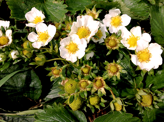 strawberries in flower
