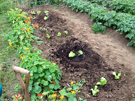 squashes planted
