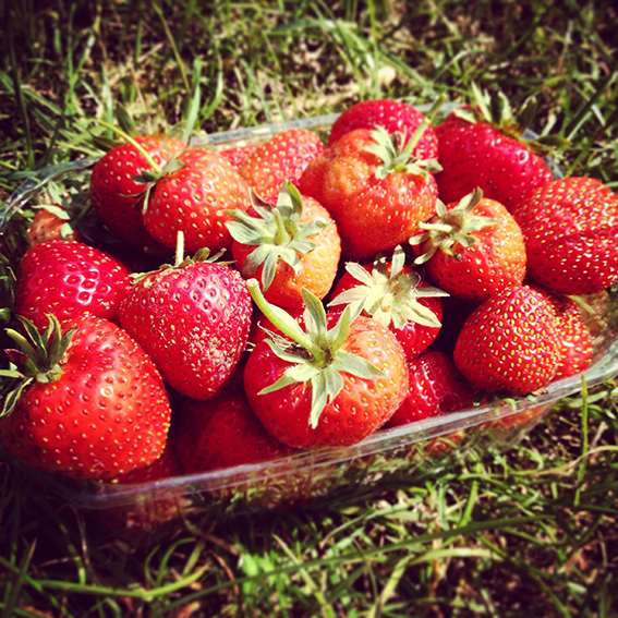 strawberries harvest