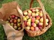 plum harvest