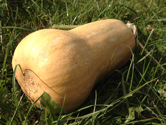 big bottomed squash