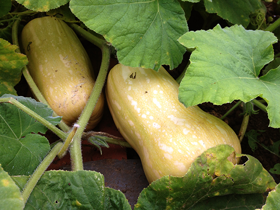 squashes on plants