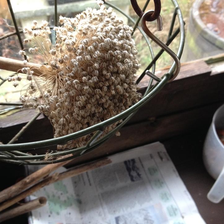 leek flower head2