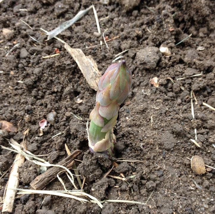 asparagus spear