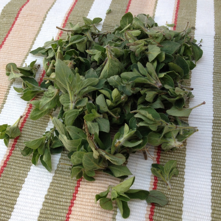 oregano harvest