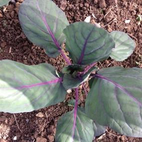 brussels plants