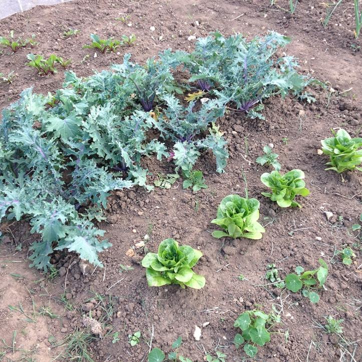 kale, lettuce, beets