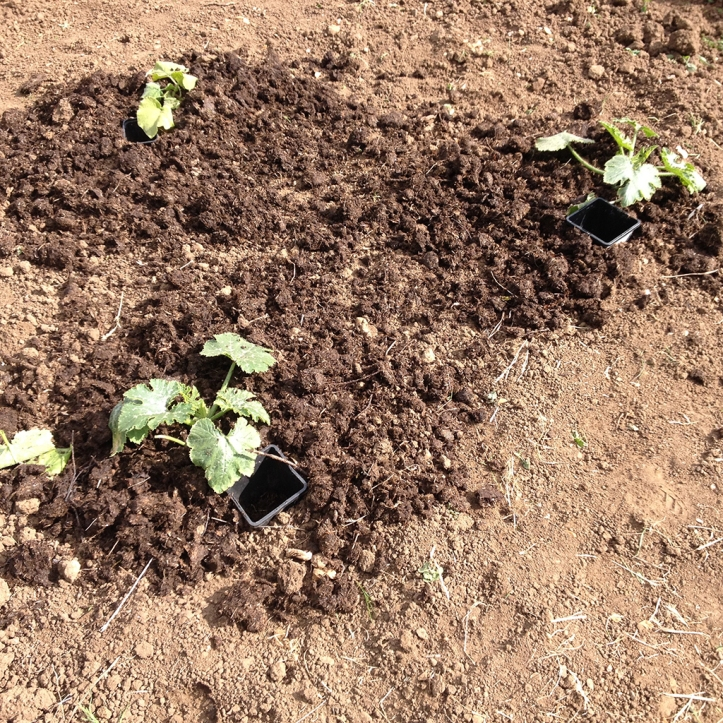 courgettes in manure