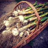 garlic harvest