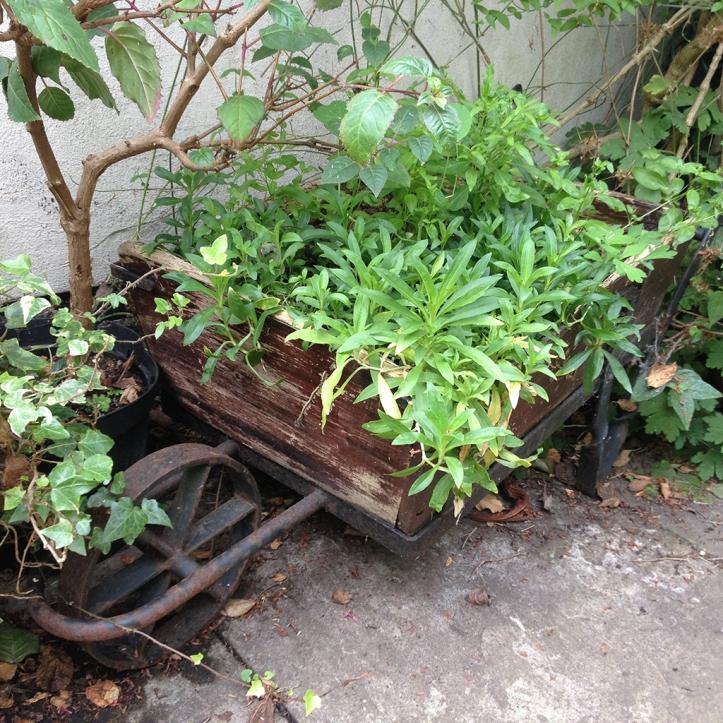 Mums garden 21
