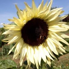 sunflower1