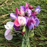sweetpea flowers