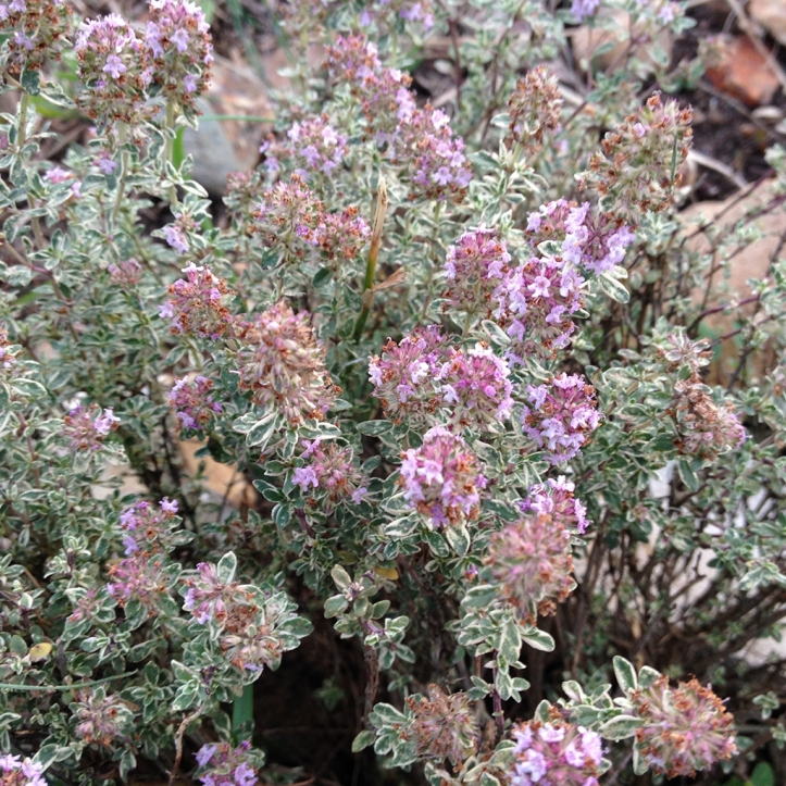 thyme flowers