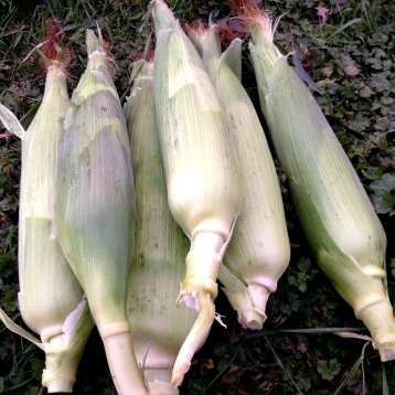 First sweetcorn