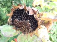 sunflower seed head
