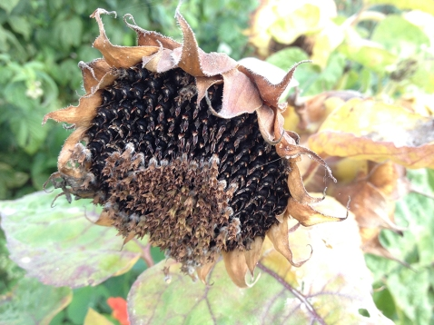 sunflower seed head