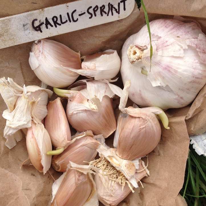 garlic sprint cloves
