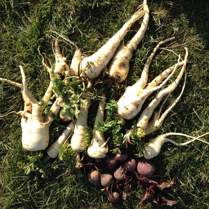 parsnip harvest