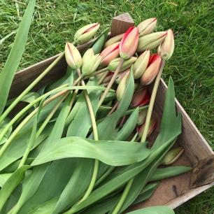 tulips harvest