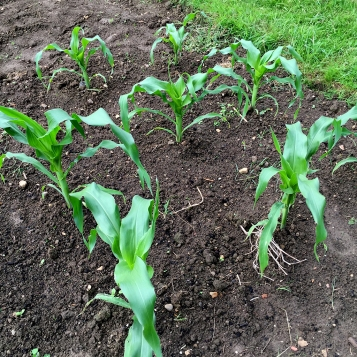 sweetcorn growing