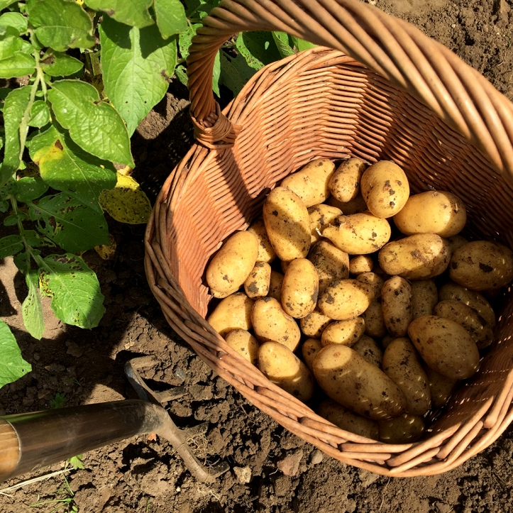 1st potato harvest