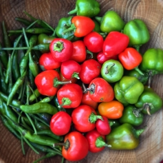 late-pepper-harvest