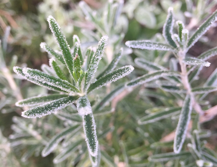 frosted-rosemary