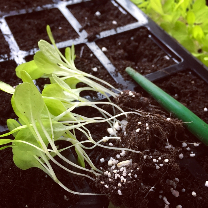 lettuce pricking out