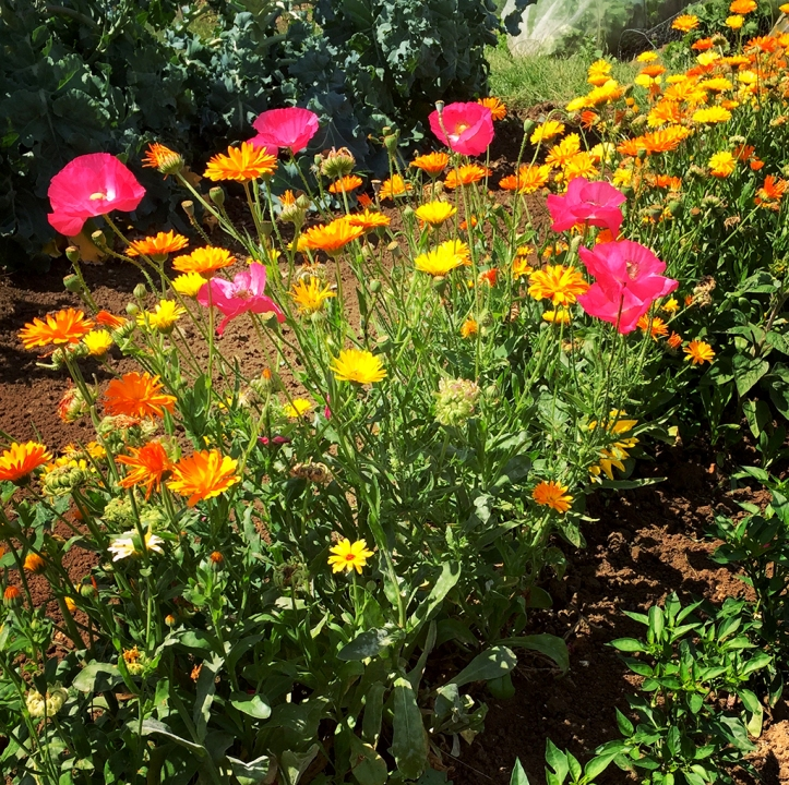 poppies and calendulas