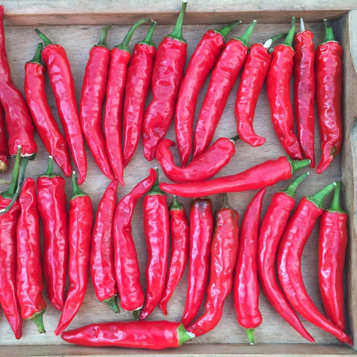 chillies harvest 2
