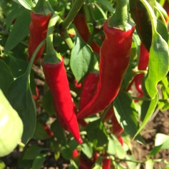 chillies on plot 2