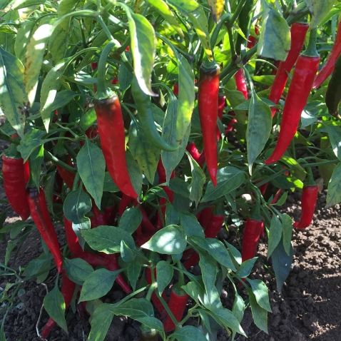chillies on plot