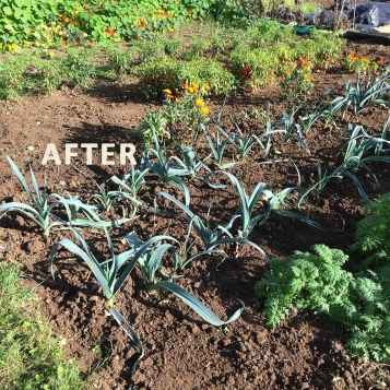 Leek bed after
