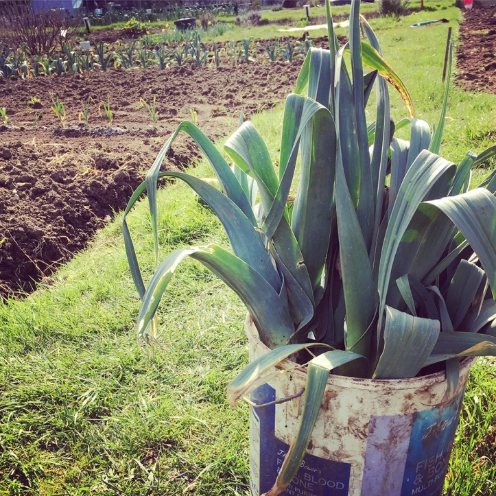 leeks in bucket